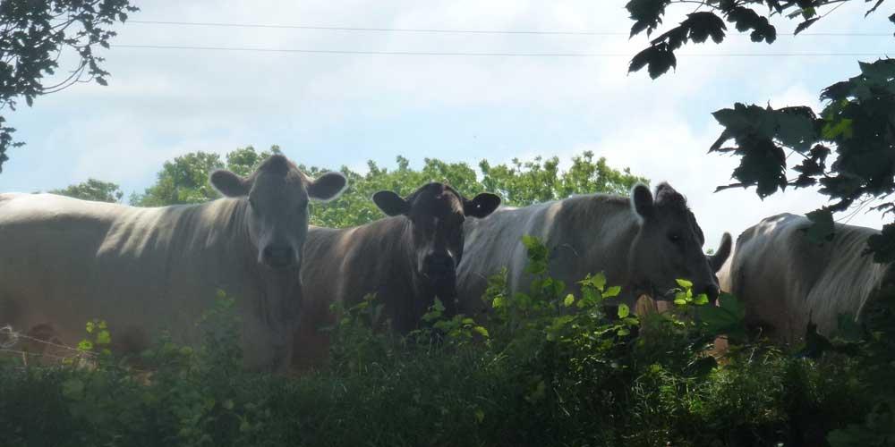 Aberhyddnant Cows
