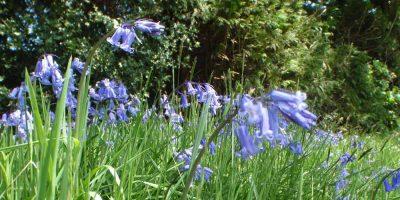 Brecon Blue Bells