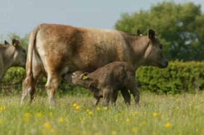 Brown Cow and Calf